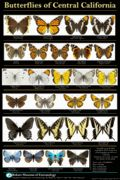 Butterflies of Central California Poster- Non Laminated