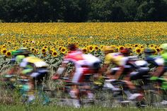 The pack rides past a field of sunflowers during the seventh stage of the 103rd edition of the Tour de France cycling race | Photography
