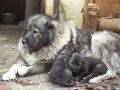 Satılık Kafkas Çoban Köpeği Yavruları fiyatları  http://www.satilikyavruilani.com/2015/03/satilik-kafkas-coban-kopegi-yavrulari.html