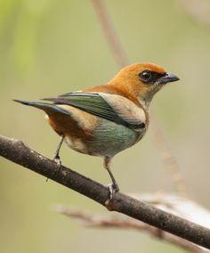 Foto saíra-preciosa (Tangara preciosa) por Reinaldo O. Elias | Wiki Aves - A Enciclopédia das Aves do Brasil
