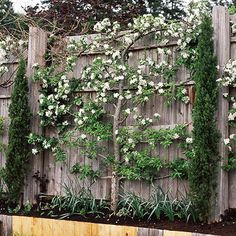 espalier-pear-apple or other trees=extra time to prune and shape when trees are young- saves space