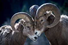 Big Horn Heart by @thelucideye on 500px