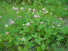 Alsikeapila (Trifolium hybridum) - Lajitiedot - Nettikasvio