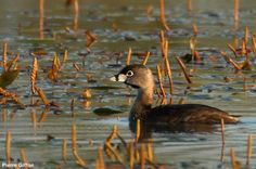 À propos des deux Grèbes à bec bigarré présents en France en juillet 2016    Photographie de Pierre Giffon (http://oiseaux13.canalblog.com/) : Grèbe à bec bigarré (Podilymbus podiceps) adulte en plumage nuptial sur la Baisse de Raillon, Saint-Martin-de-Crau (Bouches-du-Rhône), le 25/07/2016.  #ornithologie #oiseaux #nature