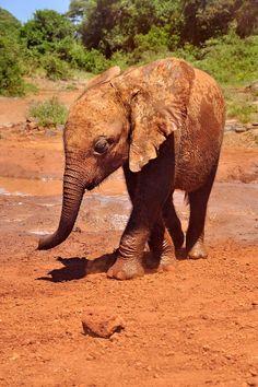 Baby elephant orphan from the David Sheldrick Wildlife Trust, Nairobi, Kenya