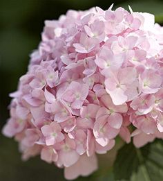 Pink hydrangeas: all year  $$