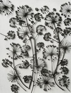 Photography by Karl Blossfeldt, c. Karl Blossfeldt, Organic Form, Organic Shapes, Nature Plants, Abstract Nature, Seed Pods, Patterns In Nature, Natural Forms, Land Art