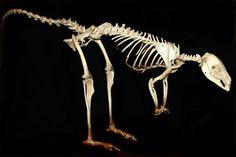 beautiful skeleton animal - Google-søgning
