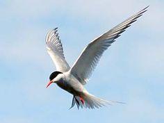 Kalatiira, Sterna hirundo - Linnut - LuontoPortti Sea Birds, Beautiful Birds, Bird Houses, Witches, Owls, Natural Beauty, Sketch, Tattoo, Spring