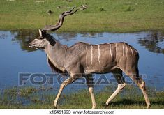 greater kudu male antelope body Rare Animals, Side View, Horses, Art, Dibujo, Animales, Art Background, Kunst, Performing Arts