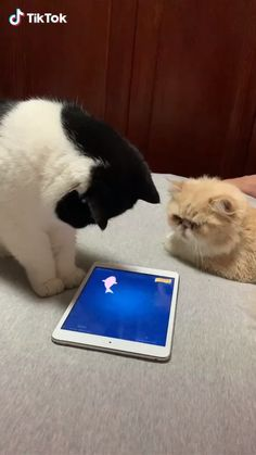 Animals Discover Dont show off BOY! When you play games in front of your girlfriend remember dont show off too much. Funny Cute Cats, Funny Animal Memes, Funny Cat Videos, Cute Cats And Kittens, Cute Funny Animals, Baby Cats, Funny Animal Pictures, Ragdoll Kittens, Funny Kittens