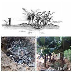 SANEAMENTO ECOLÓGICO: CÍRCULO DE BANANEIRAS  É uma técnica que trata as águas cinzas. Para construí-lo cava-se um buraco com aproximadamente 15m de diâmetro e 15m de profundidade o qual é preenchido com pedras galhos e tocos de madeira e em sua superfície coloca-se uma densa camada de vegetação. No entorno é feito um canteiro com a terra retirada do buraco onde são plantadas as bananeiras. O material que foi preenchido o buraco é rico em carbono ajuda a equilibrar a decomposição da água…