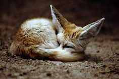 Not technically a kitty but fennec foxes are like dogs that are cats, sooo, kind of a kitty.