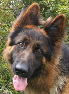 My most favorite dog breed EVER!! Long haired German Shepherd   ... von Brentwood is a stunning black and red long haired German Shepherd
