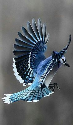 Ideas for colorful bird flying blue jay Pretty Birds, Beautiful Birds, Animals Beautiful, Exotic Birds, Colorful Birds, Blue Jay Bird, What Is A Bird, Backyard Birds, Bird Pictures