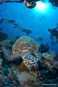 Sea Turtle & divers, Mar Rojo, Egypt