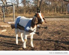 meanwhile, in Albania...no longer able to do head butts because the horns have become ingrown, Billy de Goat, now carries weaponry.