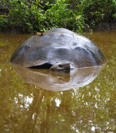 Giant tortoise in the Galapagos.
