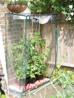 Protect tomatoes from a late frost by temporarily growing them under plastic.