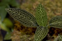 Jewel Orchid | Flickr - Photo Sharing!
