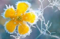 natur winter flower of frost. I want to put this in our library.once its painted grey and has white, yellow, and deep wood accents. Yellow Flowers, Beautiful Flowers, A Touch Of Frost, Winter Schnee, Colorful Roses, Winter Beauty, Shades Of Yellow, Mellow Yellow, Winter Garden