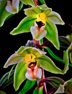 Epipactis purpurata - Wild Orchids of Romania - © Nora de Angelli - www.noraphotos.com