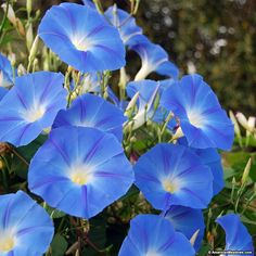 Blue Morning Glory Seeds, Ipomoea tricolor Heavenly Blue