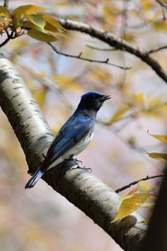 Blue-and-white flycatcher by Mubi.A
