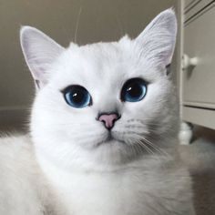 Coby, the most famous cat on the internet with his deep bright blue eyes.