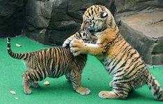 TigerCubs1