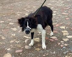 *** Male Collie (Barley) found in Hambleton area 26/5/16 *** He is now in the care of Maxi's Mates. He is in KENNEL 11 and he is not micro chipped.. He is still within the 7 days that the owner has to reclaim him but if no owner is found he will be available forRead More
