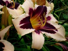 Wild Horses Daylily - Daylilies for sale - A-1 Daylilies
