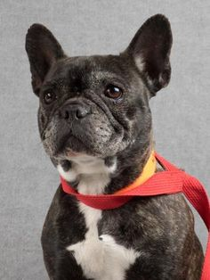 Adopt Darla, a lovely 5 years Dog available for adoption at Petango.com.  Darla is a Bulldog, French and is available at the National Mill Dog Rescue in  Colorado Springs, Co.  www.milldogrescue.org #adoptdontshop  #puppymilldog   #rescue  #adoptyourfriendtoday
