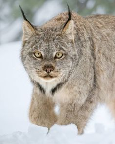 A wild Canada Lynx photographed in the Cascade Mountains of southwestern British Columbia.