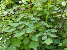 Botanic Name: Vancouveria hexandra  Common Name: Redwood Ivy  Size: 1'h x 1'w  Sun: Shade-Part Shade  H20: Occ.H2O/moist