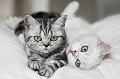 Art Cats, Tabby, White animals