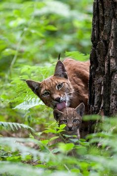 Wild Lynx mother and baby.