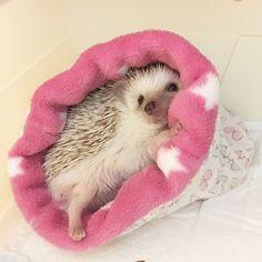 "Hedgie, how cute are you! @ashherisson on Instagram: ""ねぶくろきもちいいでちゅ〜〜っ #hedgehog #hérisson #ハリネズミ #laitue #レチュ…"""