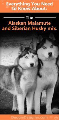 Alaskan Malamute and Siberian Husky mix - Plenty of energy and strength, but a mild, loving and easy-going nature. More about the breed in our guide. White Siberian Husky, Siberian Husky Puppies, Husky Puppy, Siberian Huskies, Corgi Puppies, Malamute Husky, Alaskan Malamute, Siberian Husky Training, Dog Information