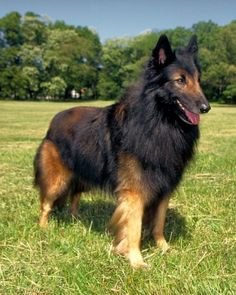 Belgian Tervuren one of the Herding Breeds. There are 3 Belgian sheepdogs with the same build but 3 different coat types.Terve / Malenois / and the black sheepdog Thats my bear! Belgian Dog, Belgian Tervuren, Belgian Shepherd, Big Dogs, Cute Dogs, Dogs And Puppies, Rottweiler, Sweet Dogs, Malinois