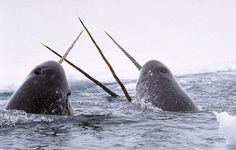 Narwhals breach in the arctic. (Photo: National Institute of Standards and Technology/Creative Commons)