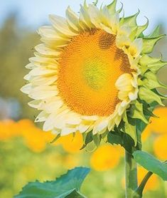 Sunflower, ProCut White Lite.Unique look of white petals surrounding a dark center.
