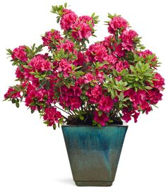 Bloom-A-Thon®+Red+-+Reblooming+Azalea+-+Rhododendron+x VERY LONG BLOOMING