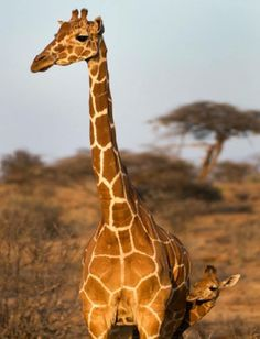 A little peak from behind Mother Giraffe