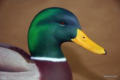 Duck Mount, Animal Drawings, Drawing Animals, Wood Carving For Beginners, Decoy Carving, Duck Decoys, Wood Carving Patterns, Antique Clocks, Mallard