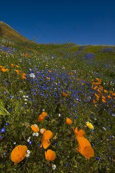 Lake_elsinore_wildflowers
