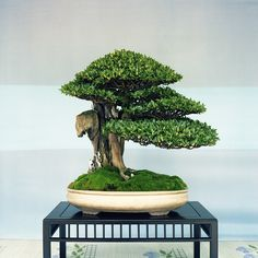 The ancient Japanese art of Bonsai creates a miniature version of a fully grown tree through careful potting, pruning and training. Even if you& not zen enough to labour over your own Bonsai,. Bonsai Acer, Flowering Bonsai Tree, Bonsai Tree Care, Bonsai Tree Types, Bonsai Plants, Bonsai Garden, Bonsai Trees, Pine Bonsai, Ikebana