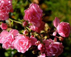 Roses in Autumn| Flickr - Photo Sharing!