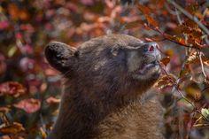 Cinnamon Black bear eating Hawthorn berries, Grand Teton Nationa - Cinnamon Black bear eating Hawthorn berries, Grand Teton National Park, Wyoming