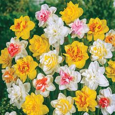 Double Daffodil Mixture Super Sak – 40 per package - All About Gardens